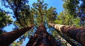 reuzenbomen in West Amerika