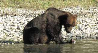 Grizzly Campbell River
