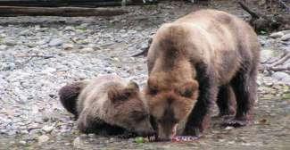 Beren spotten in Canada bij Campbell River