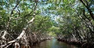 Maak een tour door een Mangrove bos in het Nationale Park de Everglades.
