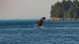 Een orka springt uit het water voor de kust