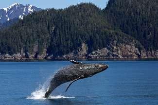 Een bultrugwalvis springt uit het water voor de kust
