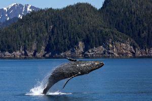 Humpback Whale springt uit het water