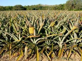 Ananas plantage