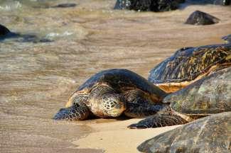 Op verschillende stranden op Oahu komen schildpadden aan het land.