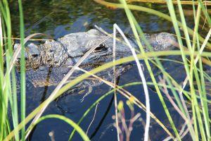Florida, geliefd oord voor Alligators