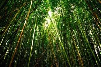 bamboewoud Maui