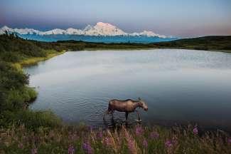 Amerikaanse elanden in het meer in Alaska