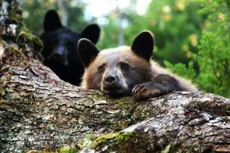 De beren zijn aan het kijken naar ons, nieuwsgierige mensen.