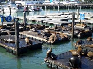 In Fisherman's Wharf ligt Pier 39 en de zeeleeuwen vinden het hier heerlijk om uit te rusten en te genieten van de zon.