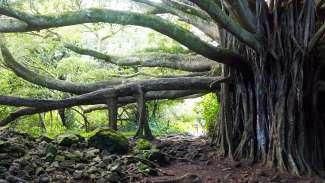 In de groene wouden van Maui groeit de opmerkelijke  Bayan Tree.