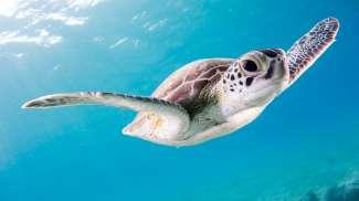 Veel schildpadden broeden op de standen van Bonaire. Tijdens het duiken kunt u ze ook tegen komen.