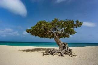 De Fofoti boom op Eagle Beach staat door de passaatwind naar het zuidwesten gericht.