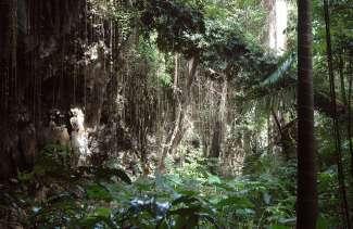 Ga op ontdekking in de diepgroene Welchman Hall Gully jungle van Barbados.