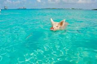 Exuma is wereldberoemd door de zwemmende varkentjes.