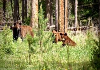 Met een beetje geluk spot je beren langs de weg.