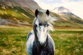 De prachtige IJslanders zijn al in de 9e eeuw door de Vikingen naar IJsland meegebracht.