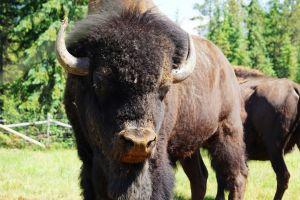 Buffalo Ranch in Golden