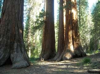Eeuwenoude bomen in Mariposa, Californie