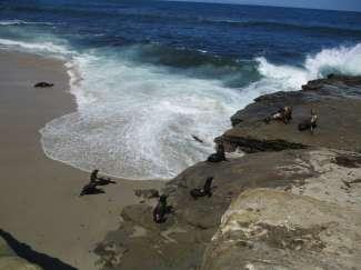 Spot zeeleeuwen in het wild bij La Jolla Cove.
