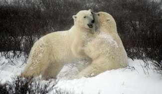 Jonge beren testen hun kracht en vechtvaardigheid