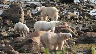 Met een beetje geluk kun je veel ijsberen tegelijk zien.