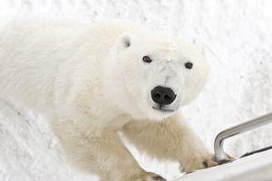 Nieuwsgierige ijsbeer