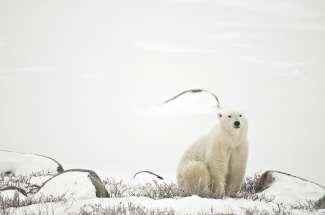 De ijsberen verzamelen zich in de zomer in Churchill om zo snel mogelijk op zeehonden te kunnen jagen in de bevroren Hudson Bay.