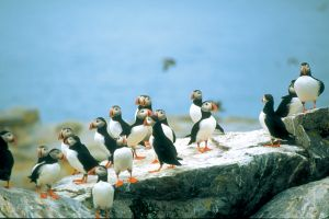 Puffins ( Papegaaiduikers)