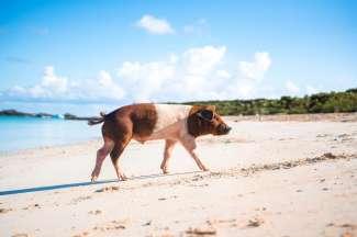 Het strand wat bekend staat om de zwemmende varkens.