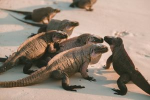 Allen's Cay Rock Iguana