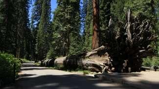 Aanschouw deze grote bomen van dichtbij door de trail of 100 Giants te wandelen