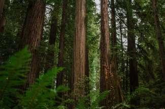 Een bosgebied met de enorme Coast Redwoods